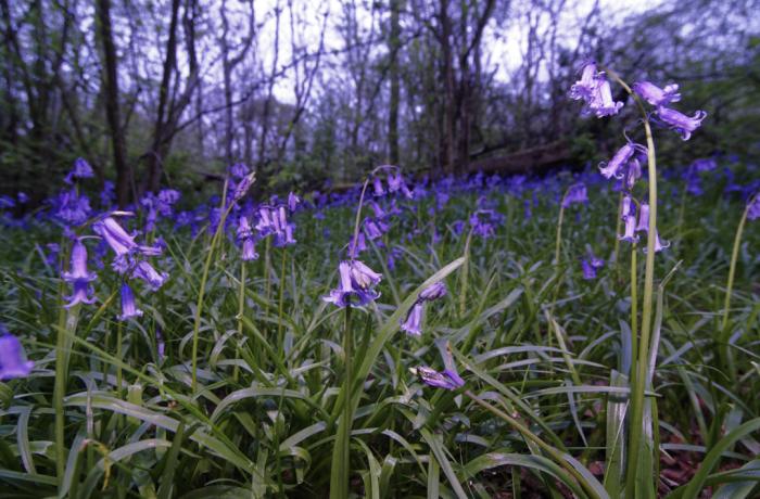 Shenley Wood bluebells
