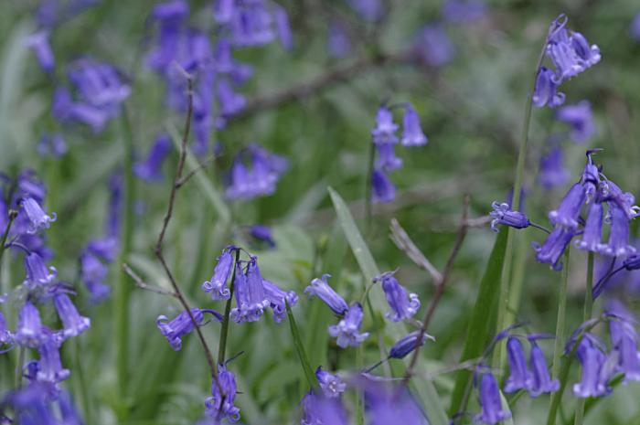 Bluebells in Shenley wood