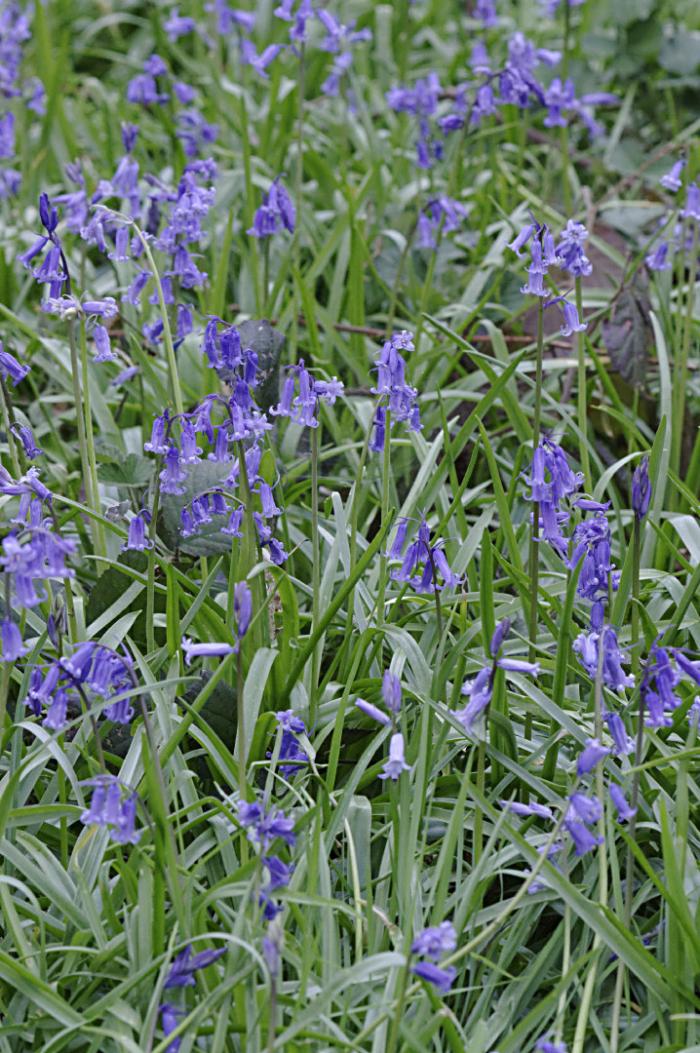 Bluebells in Howe wood
