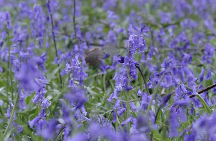 Howe Wood bluebells