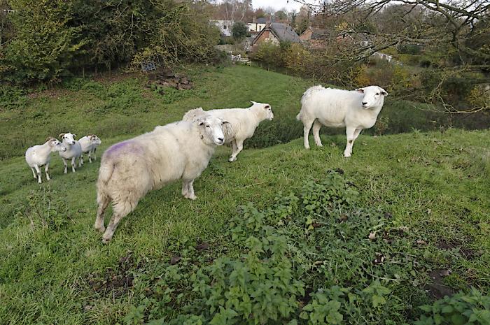Sheep on Bolobec castle