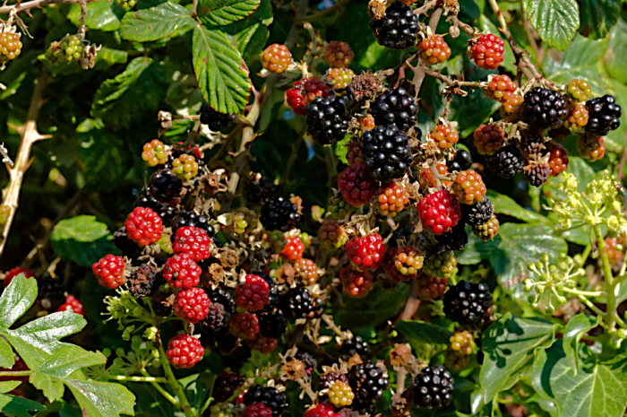 Buckinghamshire blackberries