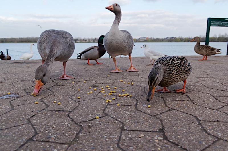 Ducks feeding at Willen lake