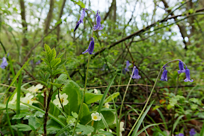 Bluebells and primrose in a wood